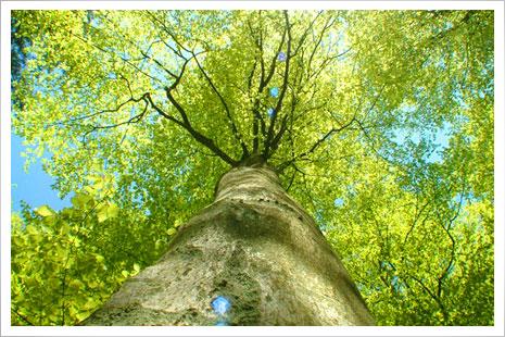 Ét af H.C. Siersteds træer i Hasle